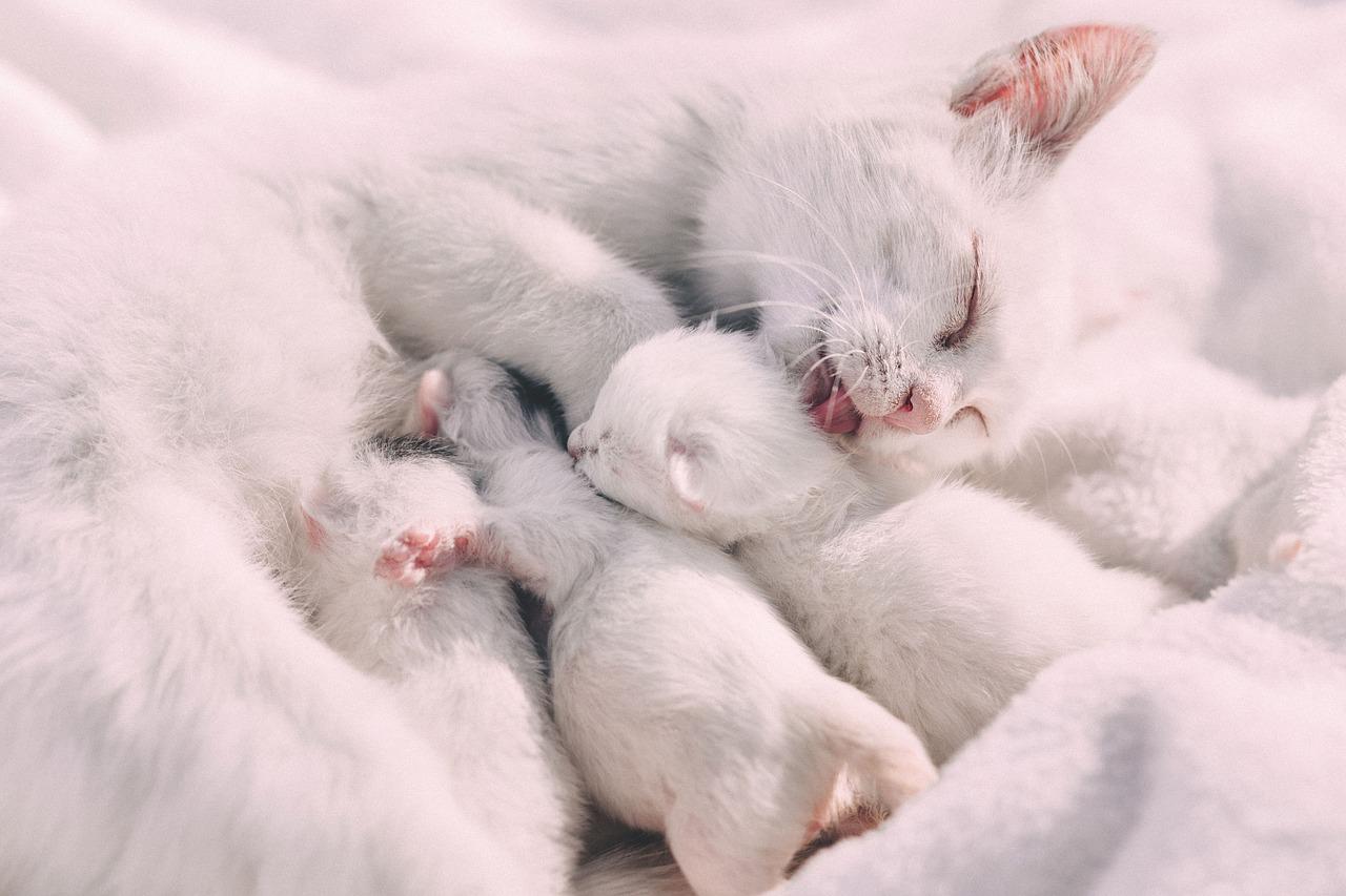 white, cat, kitten