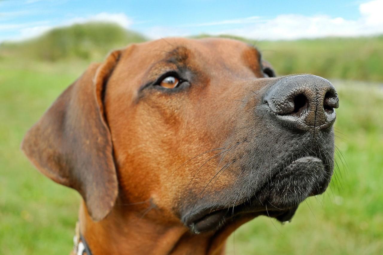 dog, nose, snout